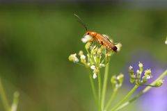 Beetle on the white flower royalty free stock photo