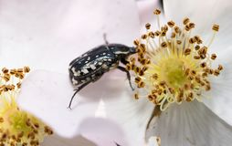 A beetle on a white flower in nature. macro.  Royalty Free Stock Images