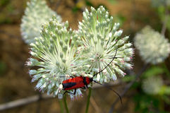 Beetle on white flower Stock Images