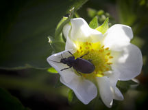 Beetle on a white flower. Beetle sitting on a white flower of the strawberry Royalty Free Stock Image