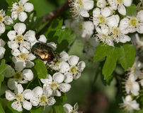 Beetle on white thorn flowers Royalty Free Stock Photography