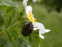 Beetle on Wild Brier Blossom Stock Photos