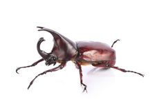 Beetle wing is also known as hard or that Xylotrupes gideon Stock Image