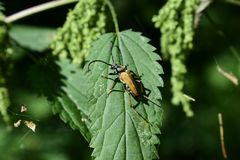 A beetle with wings on a nettle leaf webs between plants. Summer in the forest is accompanied by beautiful insects royalty free stock photos