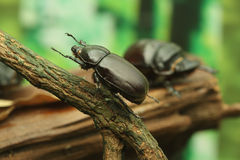 Beetle on wood Stock Photo
