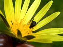 Beetle in yellow flower Stock Image
