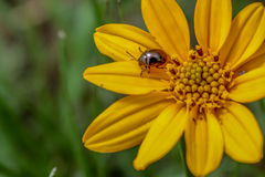 Beetle in a Yellow Flower Royalty Free Stock Photos