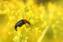 Beetle in yellow flower Royalty Free Stock Images
