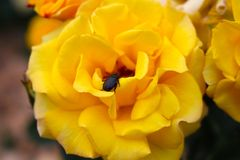 Beetle on Yellow (Goldmarie) Rose Royalty Free Stock Photo