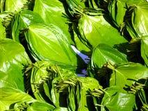 beetlenut liście Zdjęcie Stock