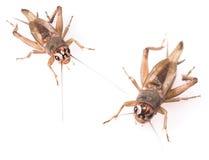 Beetles Royalty Free Stock Image
