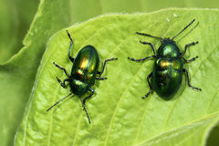 Beetles. Two beetles are climb on the leaves Royalty Free Stock Image