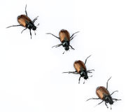Beetles. Four beetles against white background Royalty Free Stock Images