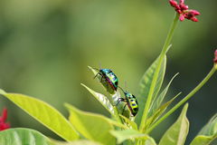 Beetles. Are accost for breed naturally Stock Images