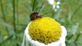 Beetles. In big detail on a flower Stock Photos
