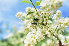 Beetles on flower Royalty Free Stock Photography