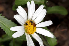 Beetles on the camomile Stock Photography