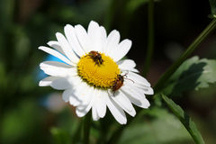 Beetles on the camomile Royalty Free Stock Images