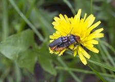 Beetles ( Cantharidae). Royalty Free Stock Image