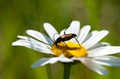 Beetles Cerambycidae sitting on a camomile Royalty Free Stock Photos