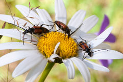 Beetles Cerambycidae are sitting on a camomile Royalty Free Stock Image
