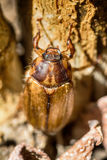 Beetles: Cockchafer or Maybug Melolontha melolontha Stock Image