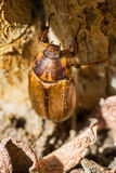 Beetles: Cockchafer or Maybug Melolontha melolontha Stock Images