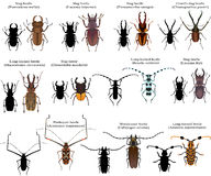 Beetles. Collection of different species of stag beetles and long-horned beetles Royalty Free Stock Photo