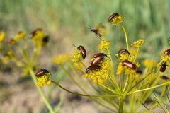 Beetles on flower Royalty Free Stock Photo