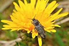 Beetles of the genus Agriotes Stock Images