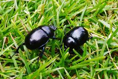 Beetles In The Grass. Two beetles that i came across on one of my treks Royalty Free Stock Photography