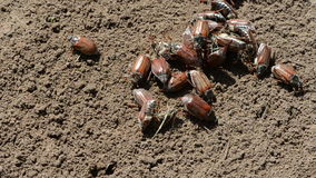 Beetles on ground Stock Images