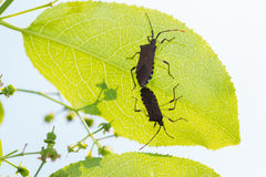Beetles have sex on green leaf. Royalty Free Stock Photos