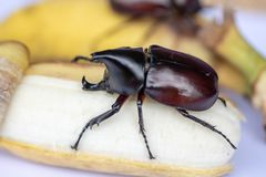 Beetles, Insects, Bugs are a group of insects form the order Coleoptera,Animal samples for education. stock photo