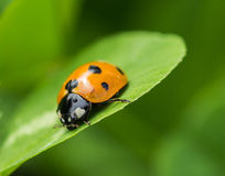 The beetles Royalty Free Stock Images
