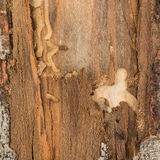 Beetles and larva damage forestry management Stock Photos