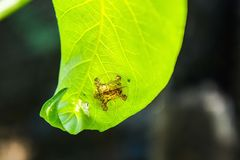 Beetles on leaf Stock Photography