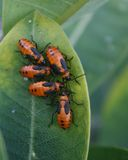 Beetles on a leaf Stock Images