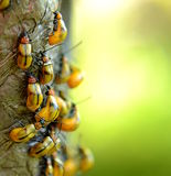 Beetles. A lot of yellow beetles walking on a tree branch Royalty Free Stock Photos