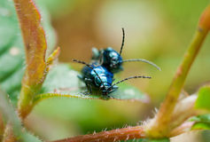 Beetles mating Royalty Free Stock Photography