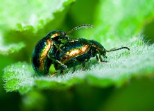 Beetles mating. Close up of two beetles mating on a leaf Stock Photo