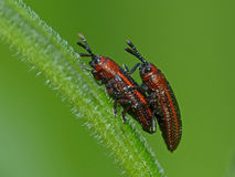 Beetles Mating On A Plant Stem Royalty Free Stock Photography