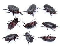 Beetles in nature ,Rhino beetle Dynastinae  on white Royalty Free Stock Photos
