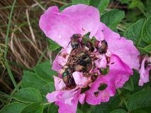 Beetles on a Pink Flower Royalty Free Stock Photography