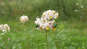 Beetles on Potato Flower stock footage