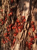 Beetles. Red beetles soldier on a tree Stock Photo