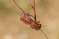 Striped beetles on grass under a spider web royalty free stock photos