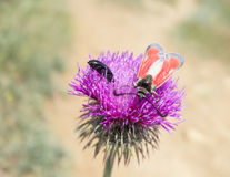 A beetles sits on a flower Royalty Free Stock Photography