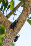 Beetles on tree Royalty Free Stock Photos