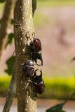 Beetles on tree Royalty Free Stock Images